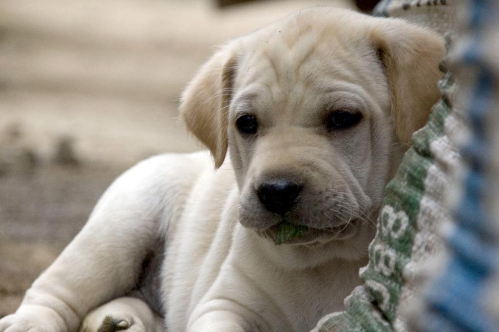 Image result for Att skaffa hund